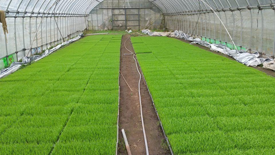 仁多米の苗も成長しています。